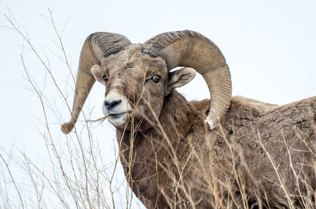 canadensis: A bighorn sheep ram chews grass in the Badlands National Park of South Dakota. Stock Photo