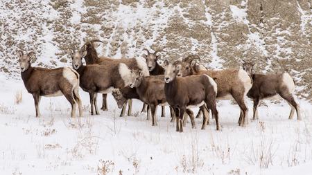borrego cimarron: Un peque�o reba�o de borregos cimarrones recoge en la base de una colina en el invierno en el Parque Nacional Badlands de Dakota del Sur.