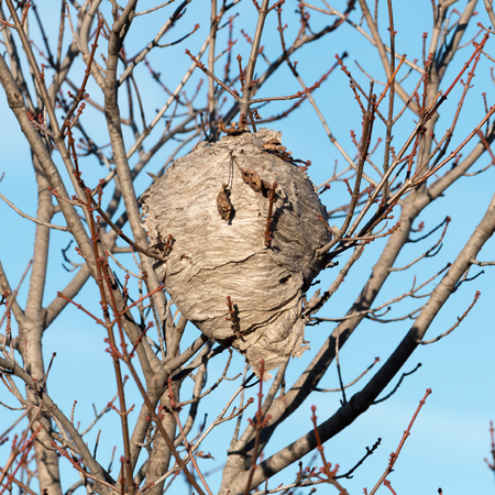 A wasp nest hangs from a tree.