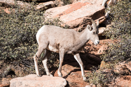 borrego cimarron: Un joven borrego cimarrón en el Parque Nacional Zion.