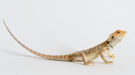 nostril: The bearded dragon lizard ids a native of Australia.