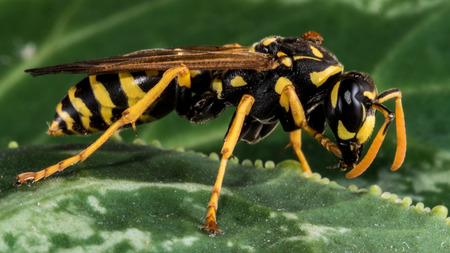 hexapod: An Eastern Yellowjacket on a Leaf