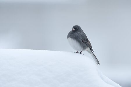 A Dark-eyed Junco Stands in the Snow