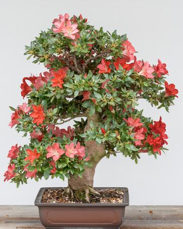 Azelia Bonsai Tree in a Pot