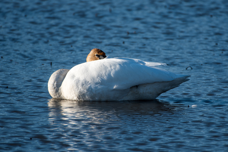 Trumpeter Swan in a Pond