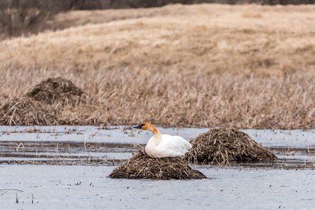 Trumpeter Swan Sits on a Nest in a Pond