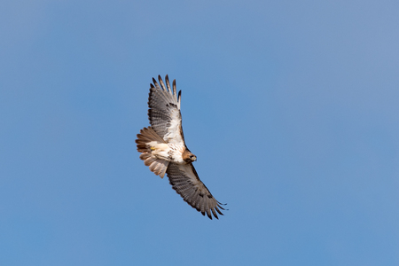 Red-tailed Hawk in Flight Reklamní fotografie