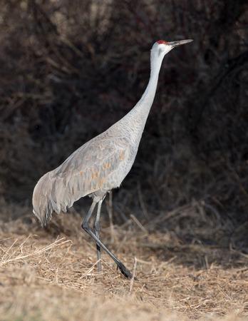 Sandhill Crane Walking