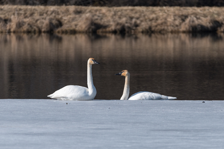 Two trumpeter swans sit on the edge of the ice