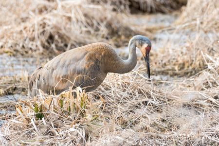 sandhill crane: Sandhill Crane Forages for Food