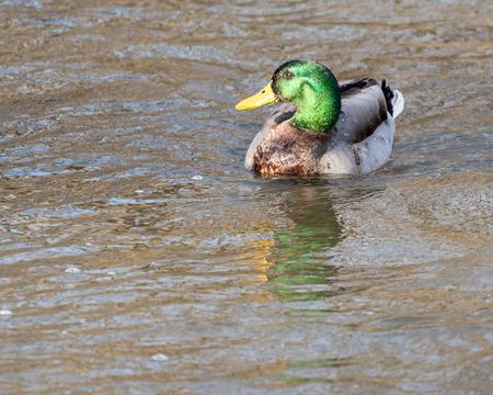 Drake Mallard Duck Swims in a Pond Reklamní fotografie