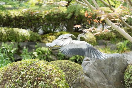 Grey Heron at Toji Temple in Kyoto, Japan
