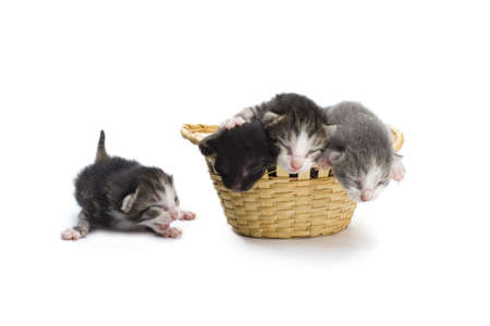 Blind kittens in the basket on white background. Stock Photo