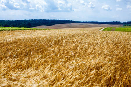 Summer Landscape, ripening wheat field, forest, sky, clouds. photo