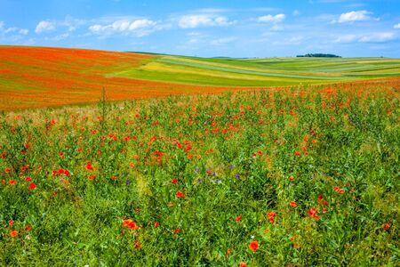 Poppy field in summer. Stock Photo