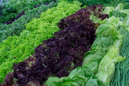 Fresh greens, lettuce, dill, parsley, oregano, basil, rosemary and Parsley on the counter market  photo