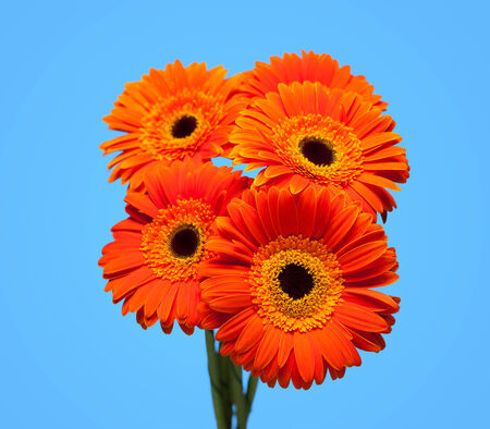 Bouquet of orange gerbera on blue background. Stock Photo