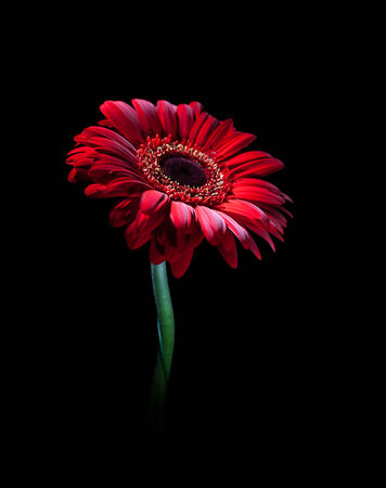 Red gerbera on black background. One flower. Stock Photo