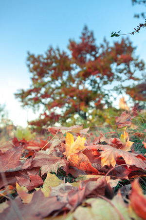 Fallen colorful maple leaves lying on grass in the park Stock Photo