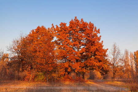 red oak tree: Red oak tree against the blue sky in a forest glade. Stock Photo