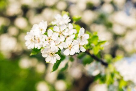 Branch of blooming apple tree with the sun Stock Photo