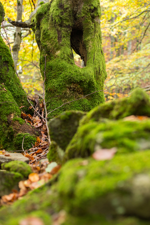 Dead trees covered with moss on a hill of stones in autumn forest