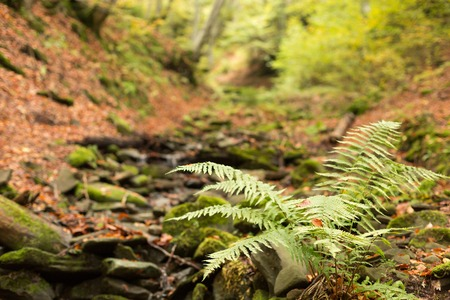 A small stream in autumn beech forest. The fallen leaves. Old logs and rocks covered with moss. Stock Photo