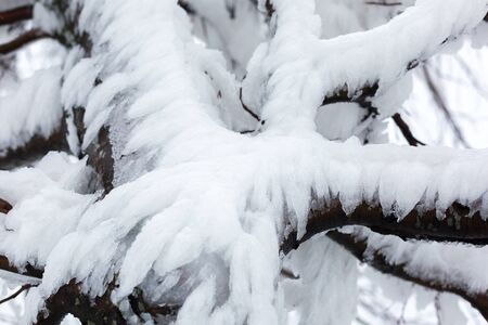 Branches of a snow-covered, icy tree. Stock Photo