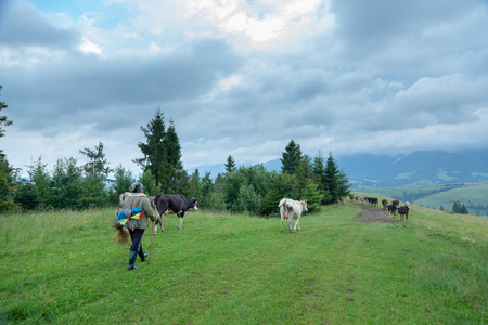 A shepherd leads a herd of cows in the mountains.