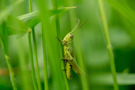 Grasshopper on the leaf of grass close up. Green grasshopper. Macro Photo of a Grasshopper.