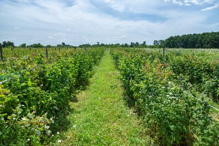 Bushes of ripe raspberries. Harvest natural organic berries.