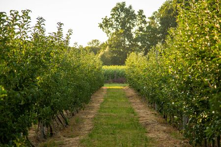 Orchard with young apple trees. Harvest time.
