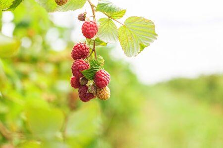 Branche of ripe raspberries. Harvest natural organic berries.