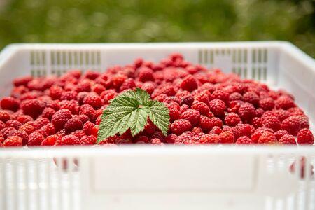 Harvesting raspberries. White plastic crates filled with ripe raspberries. Imagens
