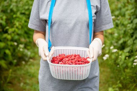 Harvesting raspberries. A plastic box for berries in the hands of a worker in latex gloves. Box filled with ripe berries.