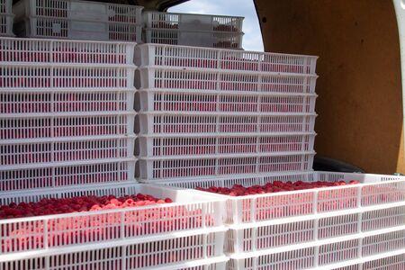Harvesting raspberries. Ripe berries in white plastic crates loaded in a freight car. Sending raspberries to the market.
