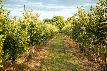 Orchard with young apple trees. Harvest time. Beautiful sunshine. Free space. Imagens - 146377880