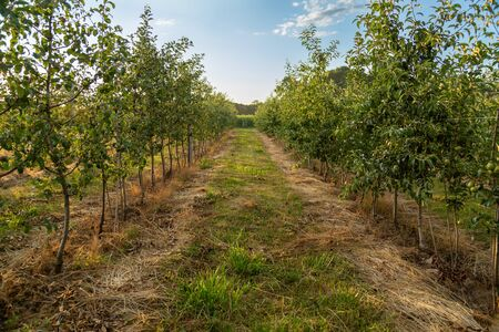 Orchard with young apple trees. Harvest time. Beautiful sunshine. Free space.