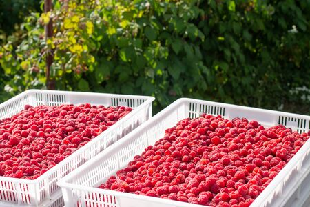 Harvesting raspberries. White plastic crates filled with ripe raspberries. Waiting for loading into a freight car. Imagens - 146380729