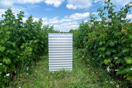 Container for raspberries between rows of bushes with ripe berries. Harvesting organic raspberries on the farm.