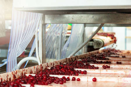 The conveyor transports the cherries processed and prepared for conservation.
