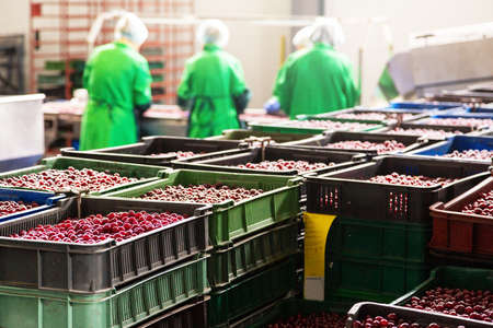 Cherry boxes at the berry harvesting factory.