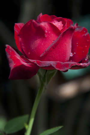 photo of a red rose with water droplets Stock Photo