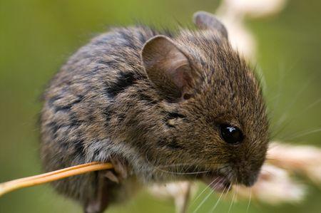 vole: Veldmuis op gras