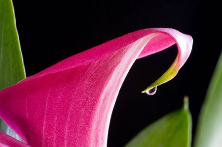 Pink calla lily detailing flower with water drop against black background