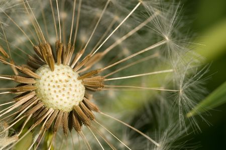 Close up of dandelion with details of seeds