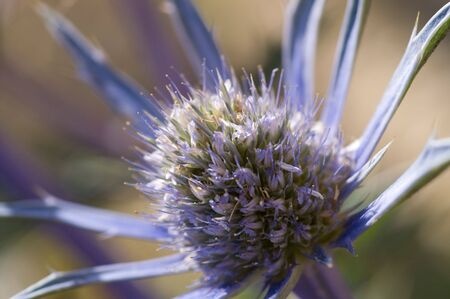 Sea holly, Eryngium Bourgatii, against blurred background Stock Photo