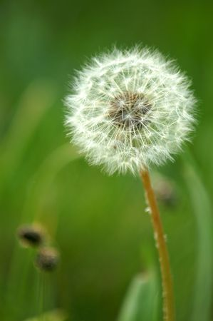 Dandelion clock against a blurred background of green grass photo