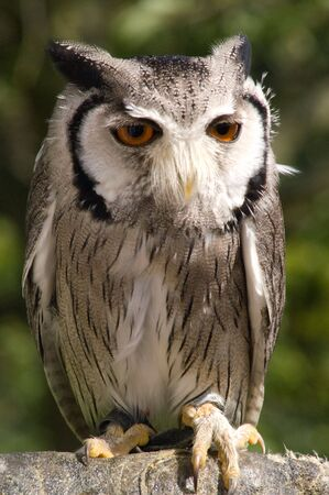 talons: Dwarf owl against green foliage