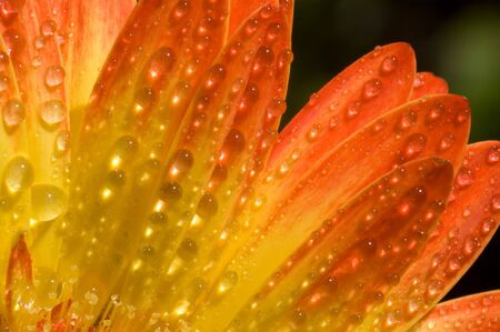 Yellow and Red Gerbera with water drops photo
